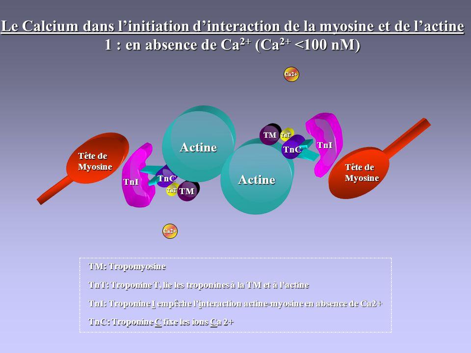 TnT TM Actine Actine TM TnT TnC TnC TnI TnI Tête de Myosine Myosine TM: Tropomyosine TnC: Troponine C fixe les ions Ca 2+ TnT: Troponine T, lie les tr