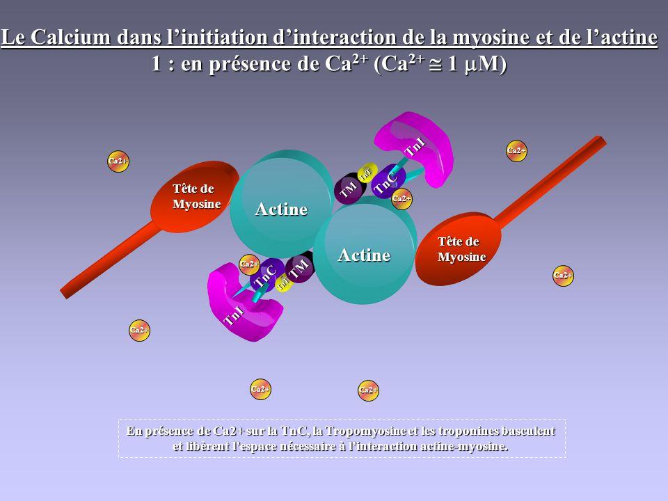 TnT TM TnC TnI Actine Actine Tête de Myosine Myosine Ca2+ Le Calcium dans linitiation dinteraction de la myosine et de lactine 1 : en présence de Ca 2