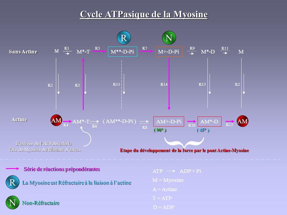 Cycle ATPasique de la Myosine Sans Actine Actine M K1 M*-T M**-D-Pi M+-D-Pi K9 M*-D K11 M K5K7 RN N R AM AM*-T K2K3 K4 ( AM**-D-Pi ) AM+-D-Pi K13 K6 K