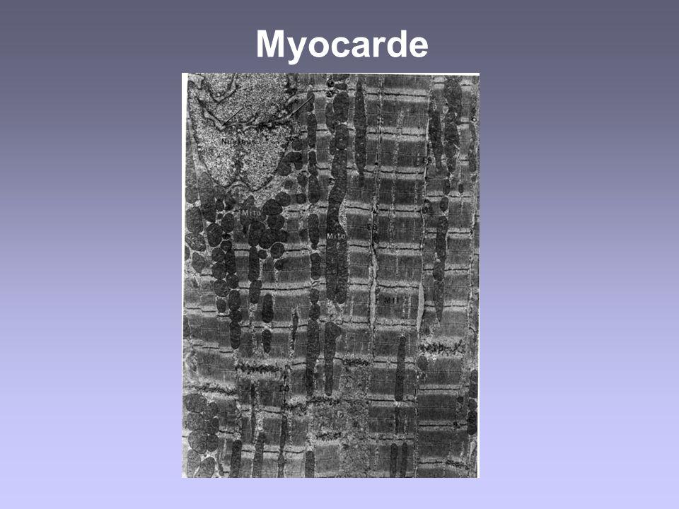 Tubulestransverse Sacs latéraux Mitochondrie Membrane Plasmique (sarcolèmme) Système longitudinal Réticulum sarcoplasmique Myofibrilles Cytosol Appareil contractile dune cellule musculaire Attention: Triades: plutôt dans les cellules musculaires squelettique Diades: plutôt dans les cellules musculaires cardiaques Diades\Triades