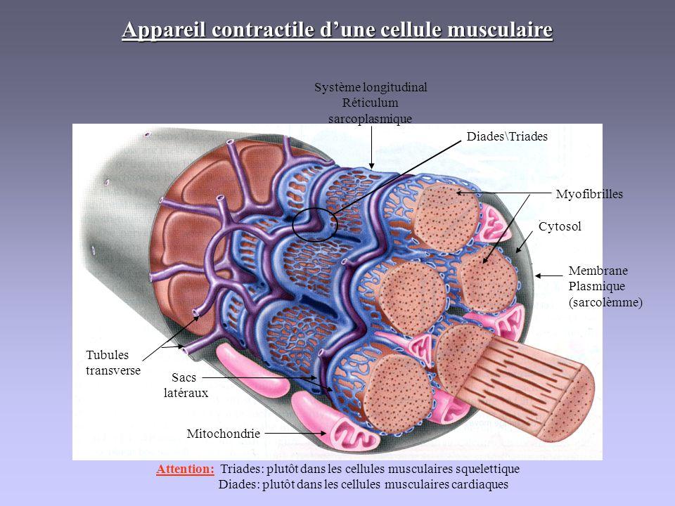 Tubulestransverse Sacs latéraux Mitochondrie Membrane Plasmique (sarcolèmme) Système longitudinal Réticulum sarcoplasmique Myofibrilles Cytosol Appare