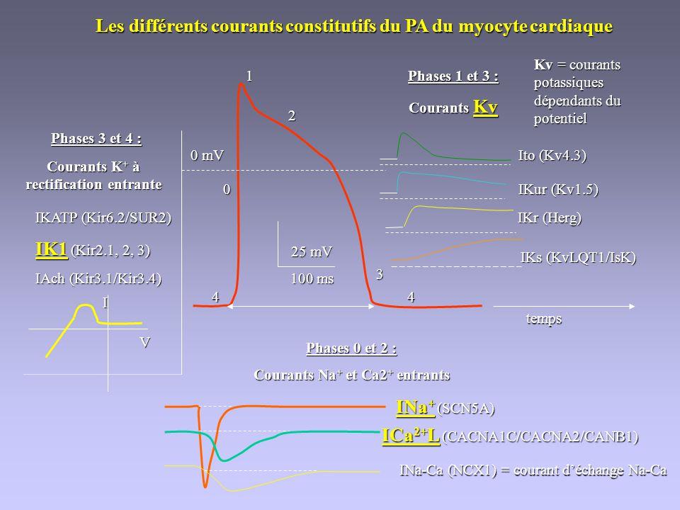 Les différents courants constitutifs du PA du myocyte cardiaque 25 mV 100 ms 1 2 3 4 0 4 Phases 1 et 3 : Courants Kv Ito (Kv4.3) IKur (Kv1.5) IKr (Her