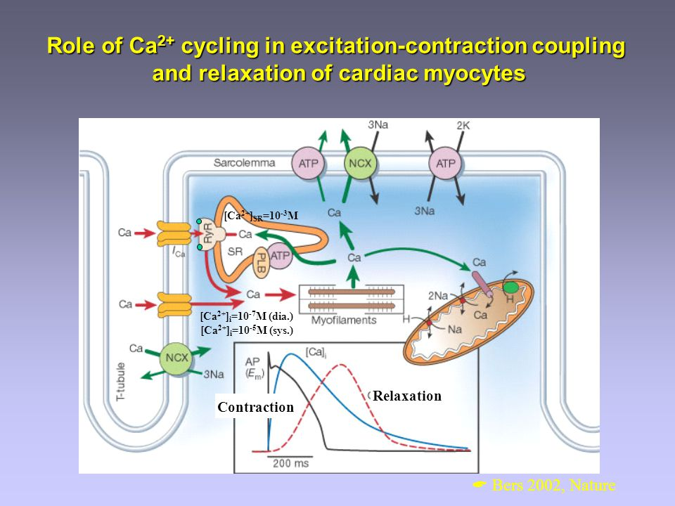 Role of Ca 2+ cycling in excitation-contraction coupling and relaxation of cardiac myocytes [Ca 2+ ] i =10 -7 M (dia.) [Ca 2+ ] i =10 -5 M (sys.) [Ca