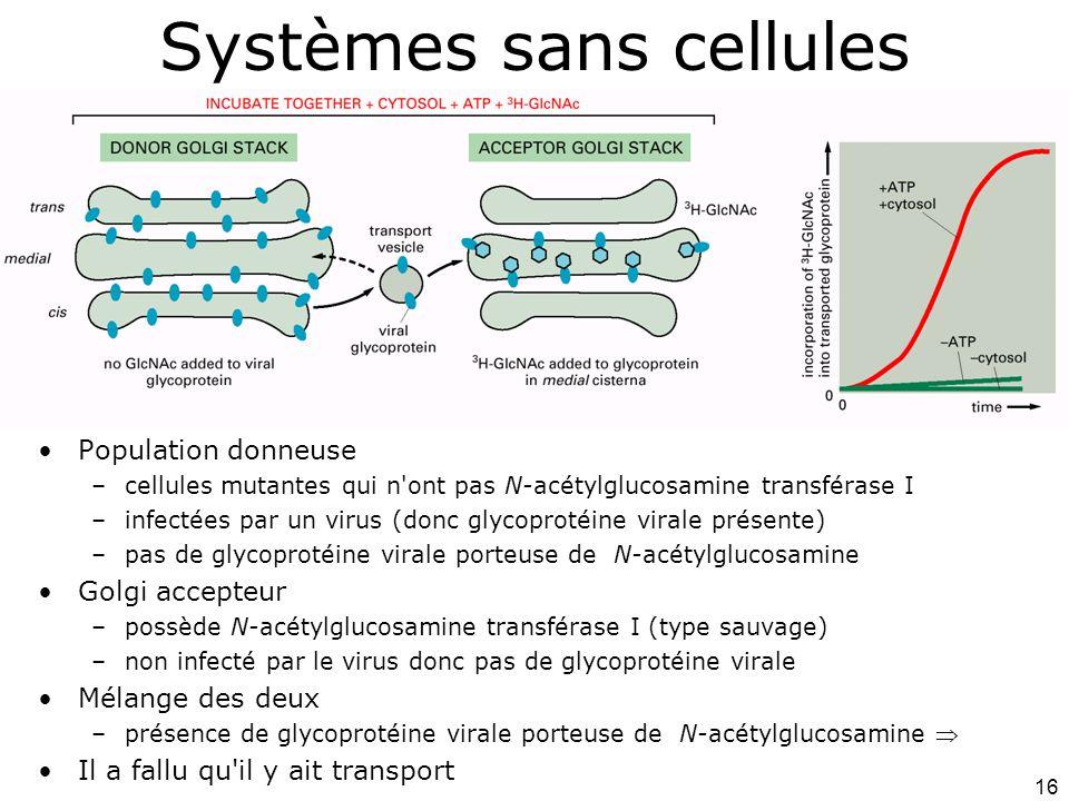 16 Systèmes sans cellules Population donneuse –cellules mutantes qui n ont pas N-acétylglucosamine transférase I –infectées par un virus (donc glycoprotéine virale présente) –pas de glycoprotéine virale porteuse de N-acétylglucosamine Golgi accepteur –possède N-acétylglucosamine transférase I (type sauvage) –non infecté par le virus donc pas de glycoprotéine virale Mélange des deux –présence de glycoprotéine virale porteuse de N-acétylglucosamine Il a fallu qu il y ait transport