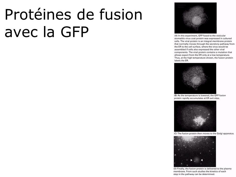 17 Protéines de fusion avec la GFP