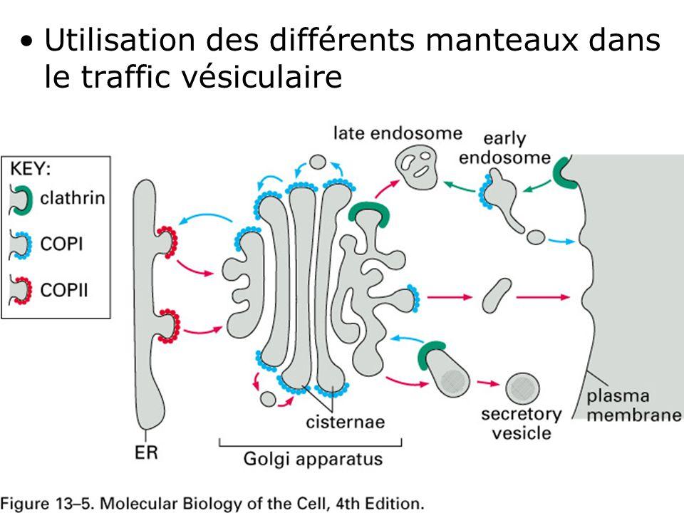 26 Fig 13-5 Utilisation des différents manteaux dans le traffic vésiculaire