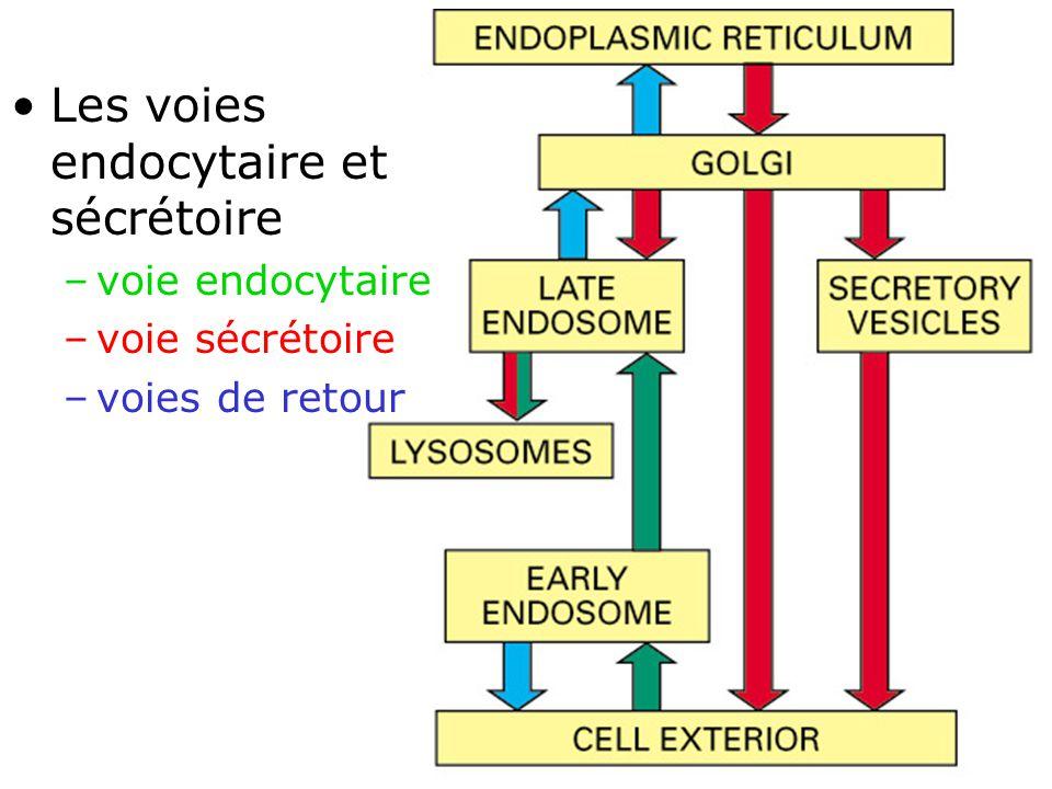 3 Fig 13-1 Les voies endocytaire et sécrétoire –voie endocytaire –voie sécrétoire –voies de retour