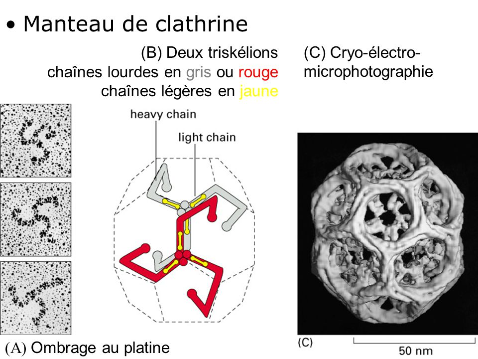 31 Fig 13-7 Manteau de clathrine (C) Cryo-électro- microphotographie (B) Deux triskélions chaînes lourdes en gris ou rouge chaînes légères en jaune (A) Ombrage au platine