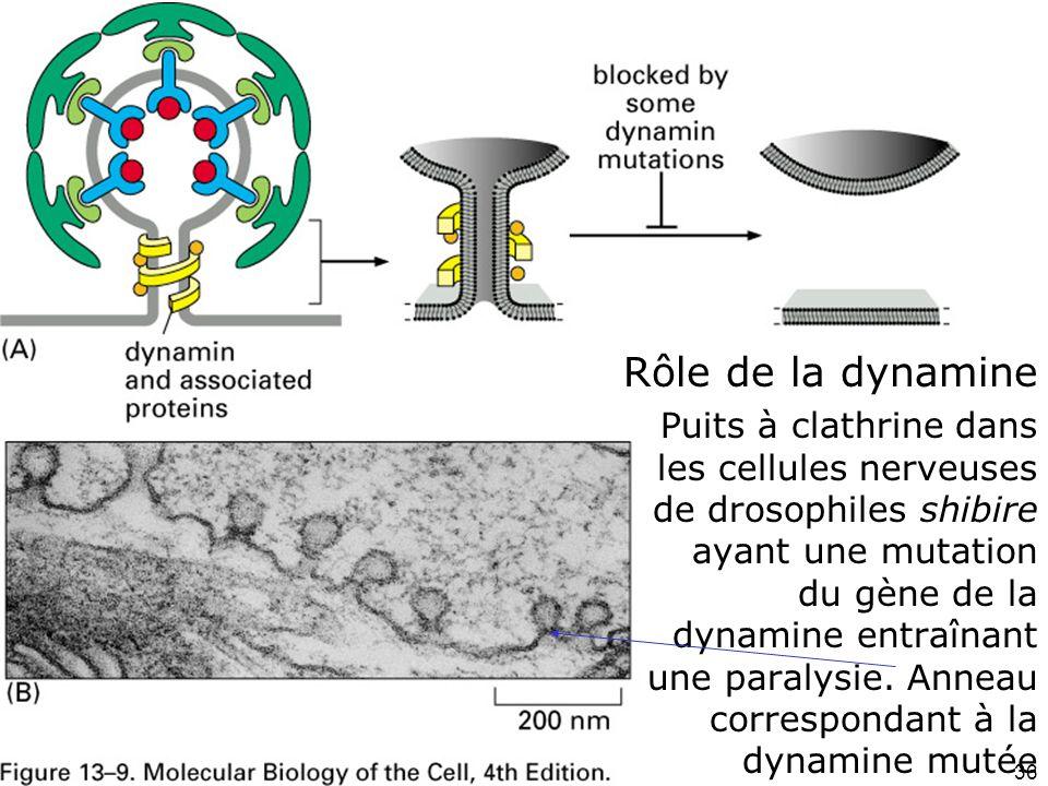 36 Fig 13-9 Rôle de la dynamine Puits à clathrine dans les cellules nerveuses de drosophiles shibire ayant une mutation du gène de la dynamine entraînant une paralysie.