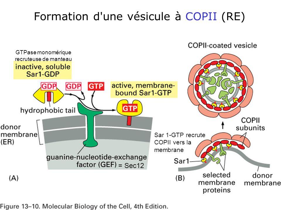 43 Fig 13-10 Formation d une vésicule à COPII (RE) Sar 1-GTP recrute COPII vers la membrane = Sec12 GTPase monomérique recruteuse de manteau