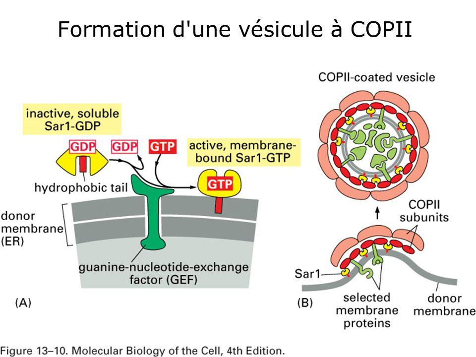 48 Fig 13-10 Formation d une vésicule à COPII