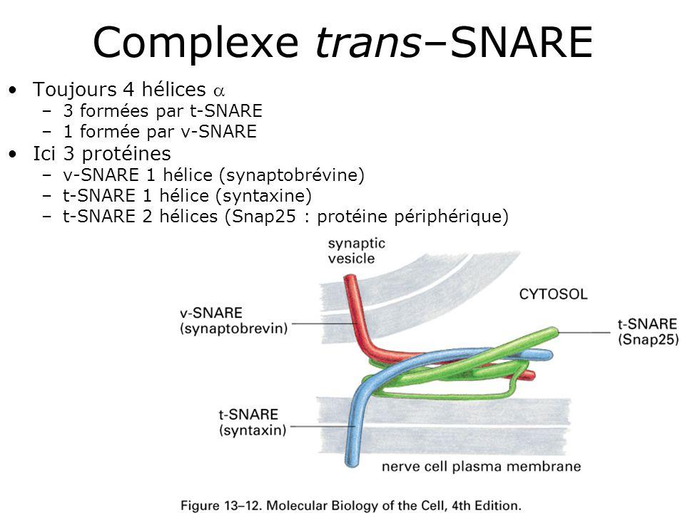 57 Complexe trans–SNARE Toujours 4 hélices –3 formées par t-SNARE –1 formée par v-SNARE Ici 3 protéines –v-SNARE 1 hélice (synaptobrévine) –t-SNARE 1 hélice (syntaxine) –t-SNARE 2 hélices (Snap25 : protéine périphérique)