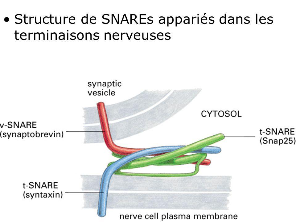 58 Fig 13-12 Structure de SNAREs appariés dans les terminaisons nerveuses