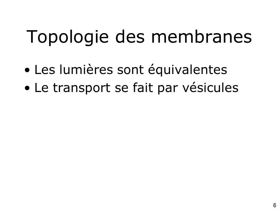 6 Topologie des membranes Les lumières sont équivalentes Le transport se fait par vésicules