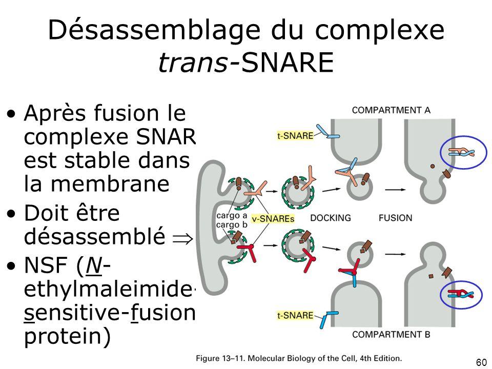 60 Désassemblage du complexe trans-SNARE Après fusion le complexe SNARE est stable dans la membrane Doit être désassemblé NSF (N- ethylmaleimide- sensitive-fusion protein)