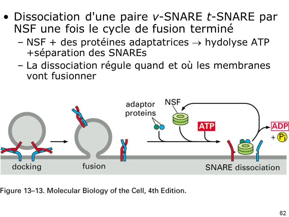 62 Fig 13-13 Dissociation d une paire v-SNARE t-SNARE par NSF une fois le cycle de fusion terminé –NSF + des protéines adaptatrices hydolyse ATP +séparation des SNAREs –La dissociation régule quand et où les membranes vont fusionner