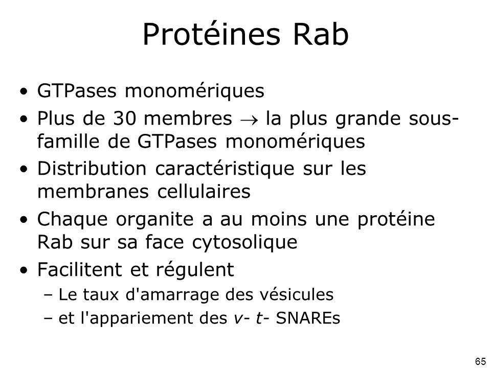 65 Protéines Rab GTPases monomériques Plus de 30 membres la plus grande sous- famille de GTPases monomériques Distribution caractéristique sur les membranes cellulaires Chaque organite a au moins une protéine Rab sur sa face cytosolique Facilitent et régulent –Le taux d amarrage des vésicules –et l appariement des v- t- SNAREs