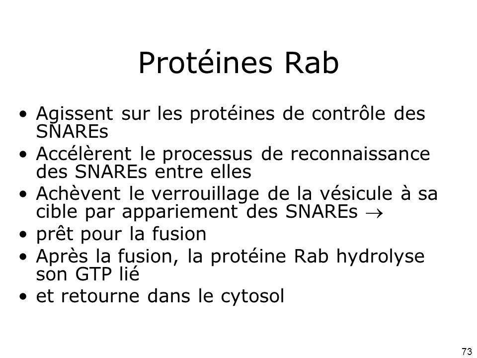 73 Protéines Rab Agissent sur les protéines de contrôle des SNAREs Accélèrent le processus de reconnaissance des SNAREs entre elles Achèvent le verrouillage de la vésicule à sa cible par appariement des SNAREs prêt pour la fusion Après la fusion, la protéine Rab hydrolyse son GTP lié et retourne dans le cytosol