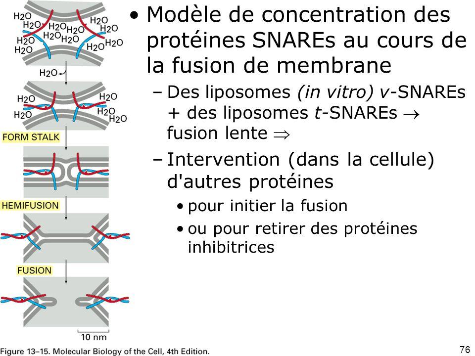 76 Fig 13-15 Modèle de concentration des protéines SNAREs au cours de la fusion de membrane –Des liposomes (in vitro) v-SNAREs + des liposomes t-SNAREs fusion lente –Intervention (dans la cellule) d autres protéines pour initier la fusion ou pour retirer des protéines inhibitrices