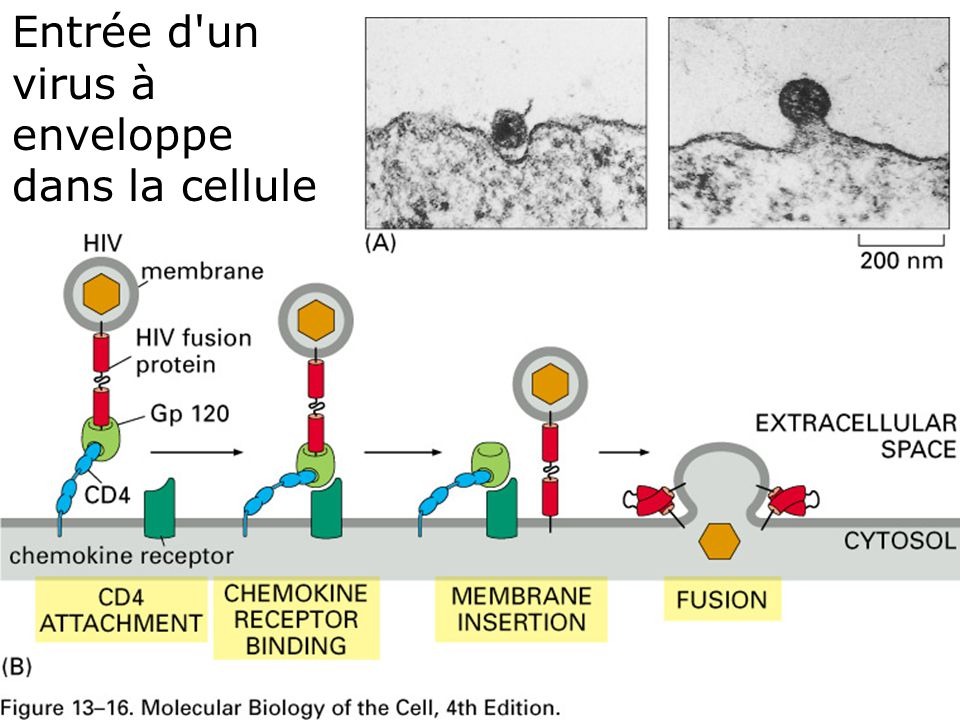 79 Fig 13-16 Entrée d un virus à enveloppe dans la cellule