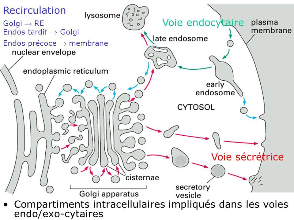 9 Fig 13-3 Voie sécrétrice Voie endocytaire Recirculation Golgi RE Endos tardif Golgi Endos précoce membrane Compartiments intracellulaires impliqués dans les voies endo/exo-cytaires