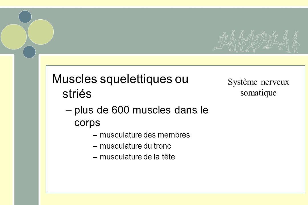 Muscles squelettiques ou striés –plus de 600 muscles dans le corps –musculature des membres –musculature du tronc –musculature de la tête Système nerv