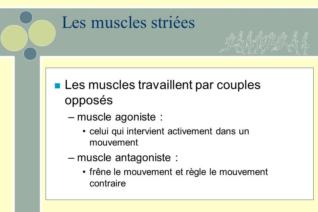 n Les muscles travaillent par couples opposés –muscle agoniste : celui qui intervient activement dans un mouvement –muscle antagoniste : frêne le mouv