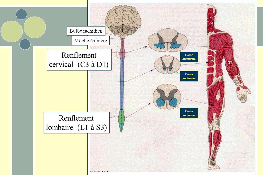 Renflement cervical (C3 à D1) Renflement lombaire (L1 à S3) Corne antérieure Corne antérieure Corne antérieure Moelle épinière Bulbe rachidien