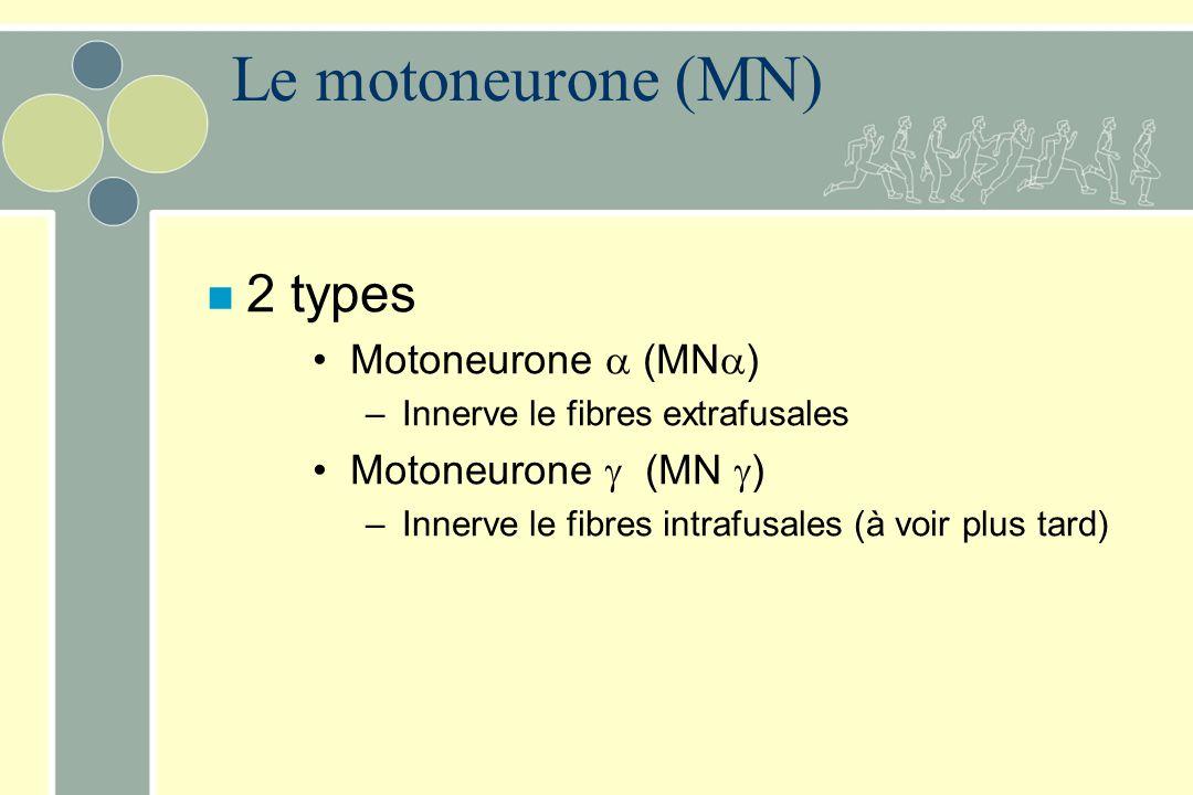 Le motoneurone (MN) n 2 types Motoneurone (MN ) – Innerve le fibres extrafusales Motoneurone (MN ) – Innerve le fibres intrafusales (à voir plus tard)
