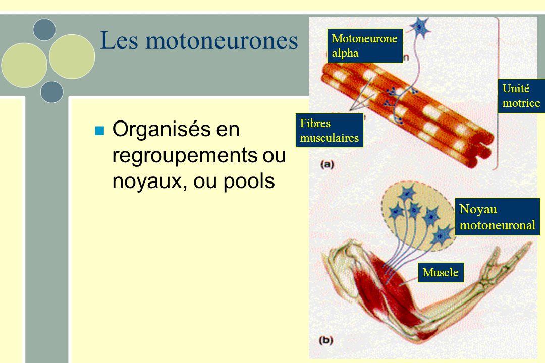 Les motoneurones n Organisés en regroupements ou noyaux, ou pools Noyau motoneuronal Muscle Unité motrice Motoneurone alpha Fibres musculaires