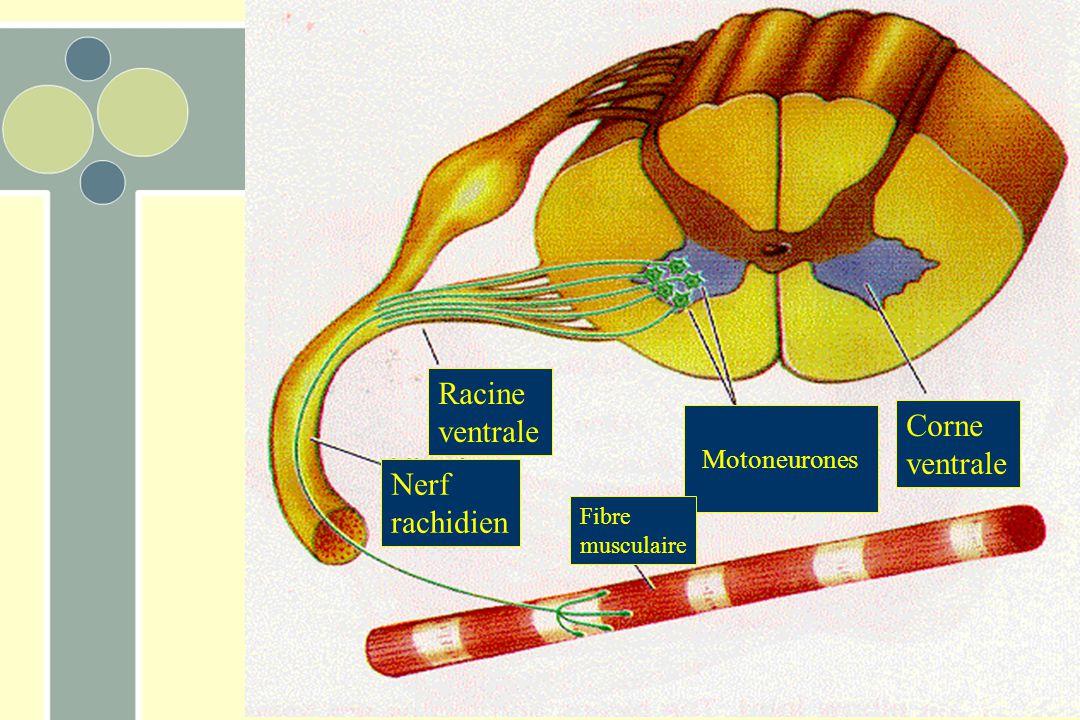 Corne ventrale Racine ventrale Motoneurones Fibre musculaire Nerf rachidien