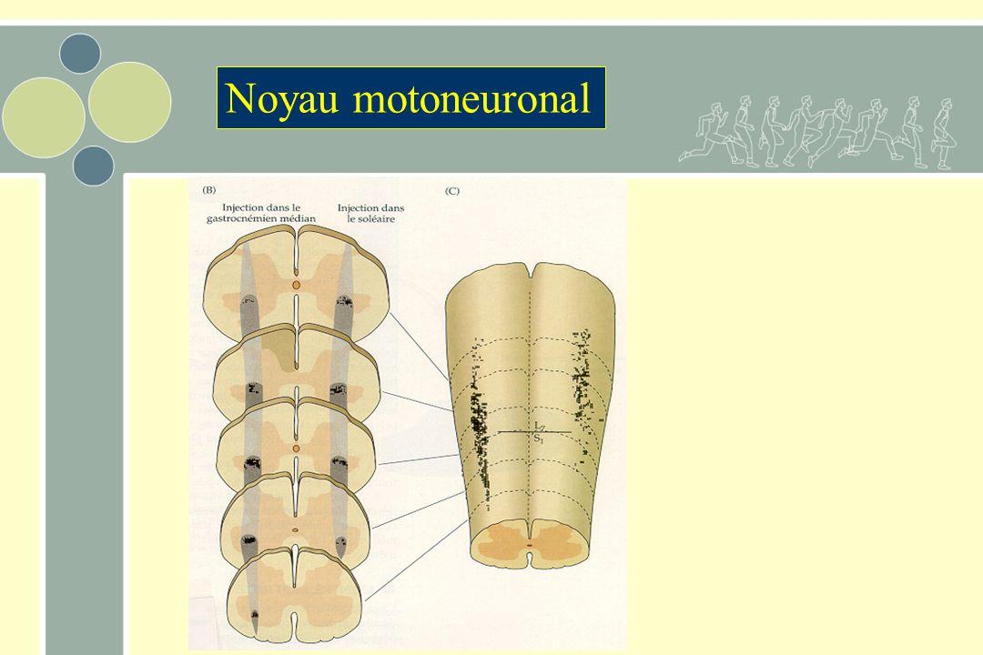 Noyau motoneuronal