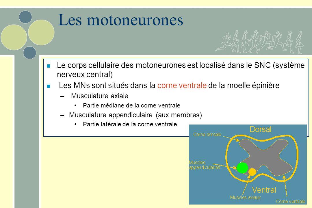Les motoneurones n Le corps cellulaire des motoneurones est localisé dans le SNC (système nerveux central) n Les MNs sont situés dans la corne ventral
