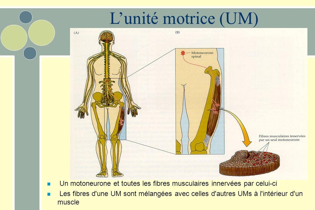 Lunité motrice (UM) n Un motoneurone et toutes les fibres musculaires innervées par celui-ci n Les fibres d'une UM sont mélangées avec celles d'autres