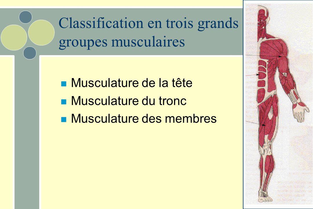 Classification en trois grands groupes musculaires n Musculature de la tête n Musculature du tronc n Musculature des membres