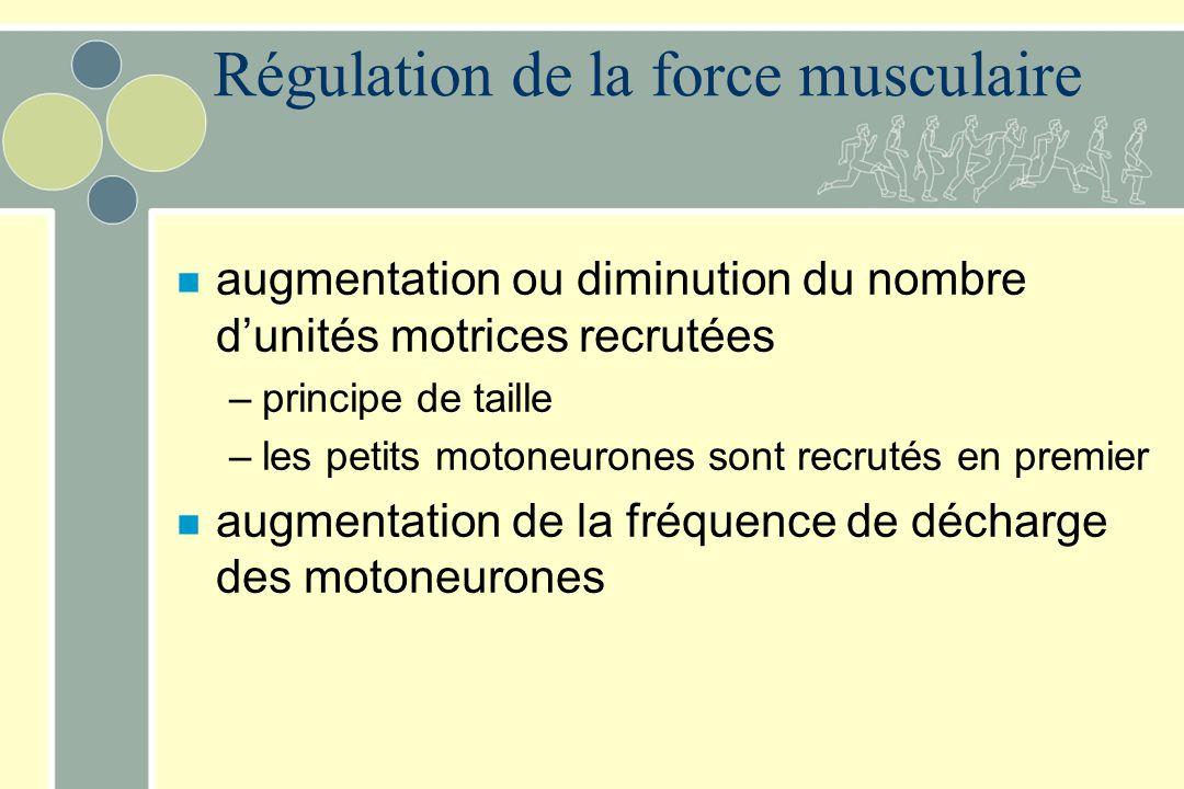 Régulation de la force musculaire n augmentation ou diminution du nombre dunités motrices recrutées –principe de taille –les petits motoneurones sont