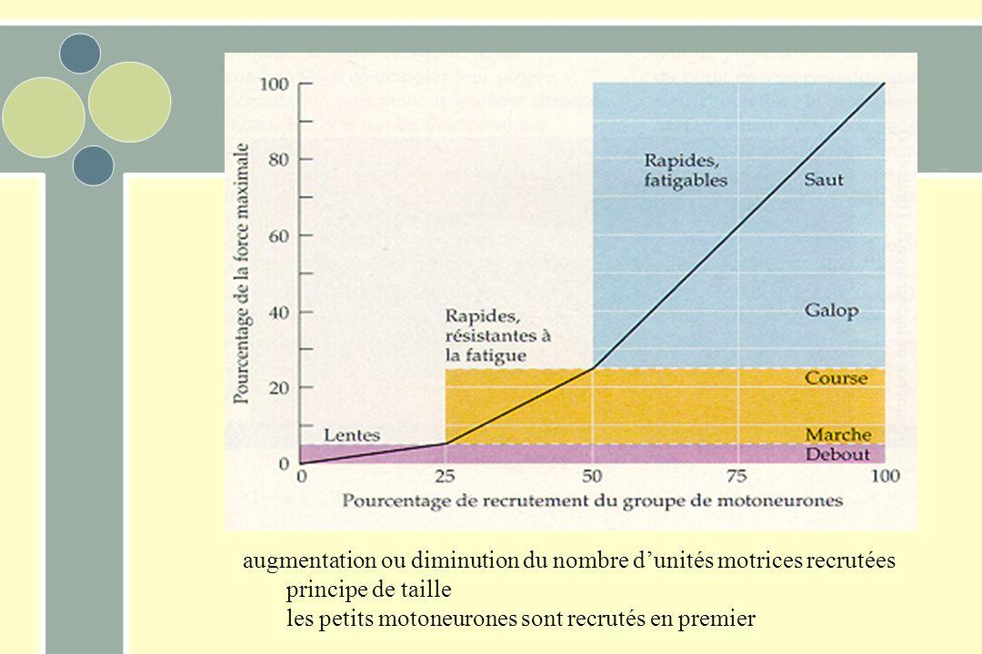 augmentation ou diminution du nombre dunités motrices recrutées principe de taille les petits motoneurones sont recrutés en premier