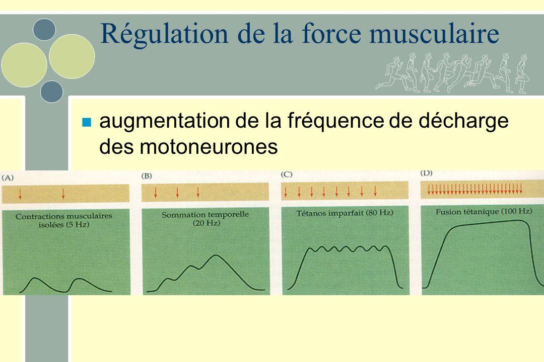 Régulation de la force musculaire n augmentation de la fréquence de décharge des motoneurones