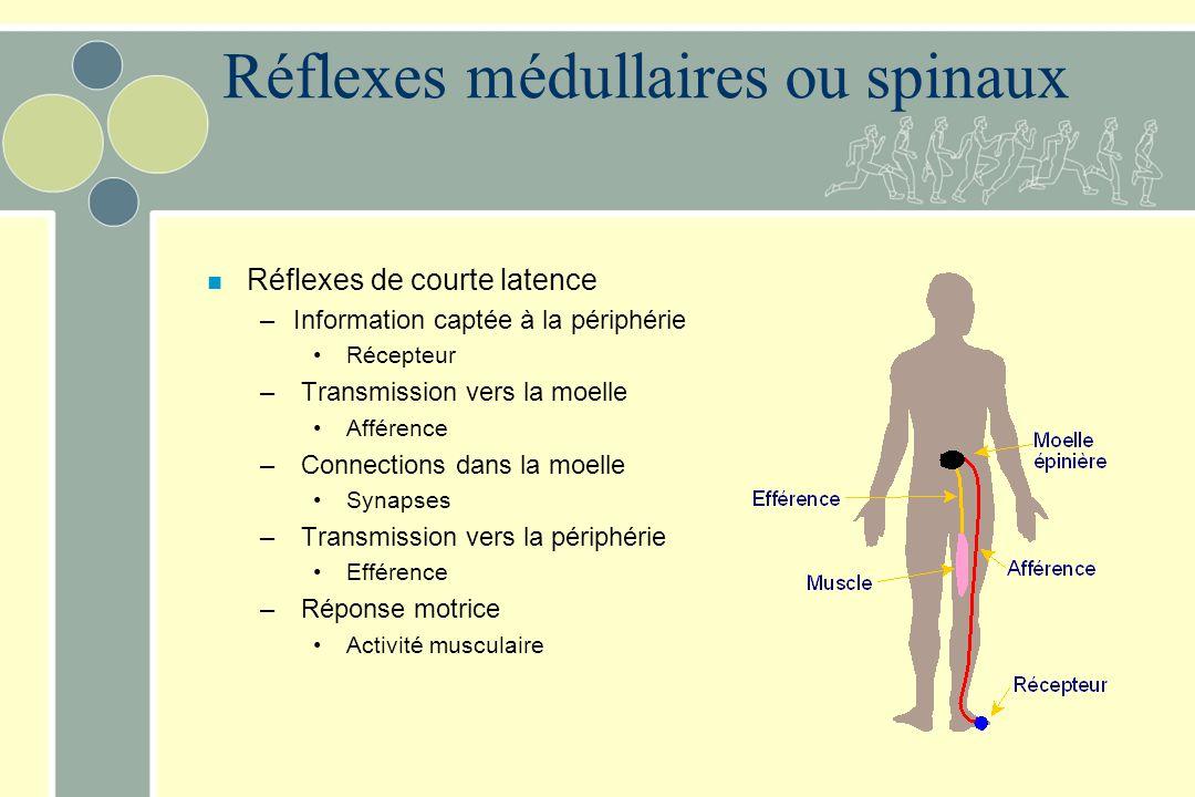 Réflexes médullaires ou spinaux n Réflexes de courte latence –Information captée à la périphérie Récepteur – Transmission vers la moelle Afférence – C