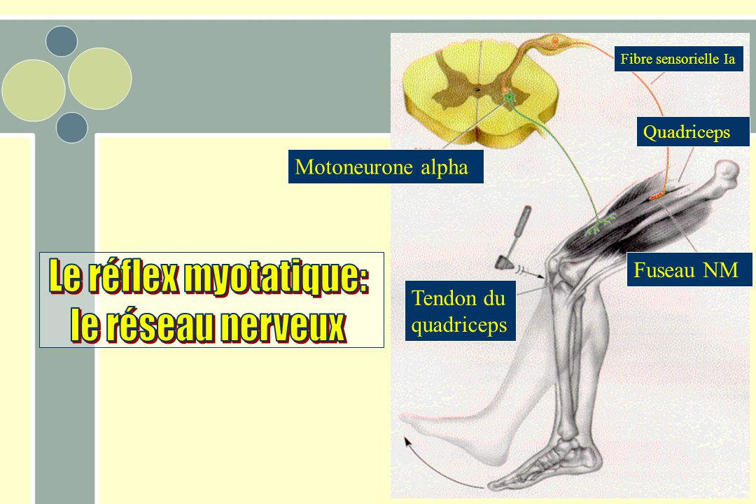 Tendon du quadriceps Motoneurone alpha Fibre sensorielle Ia Fuseau NM Quadriceps