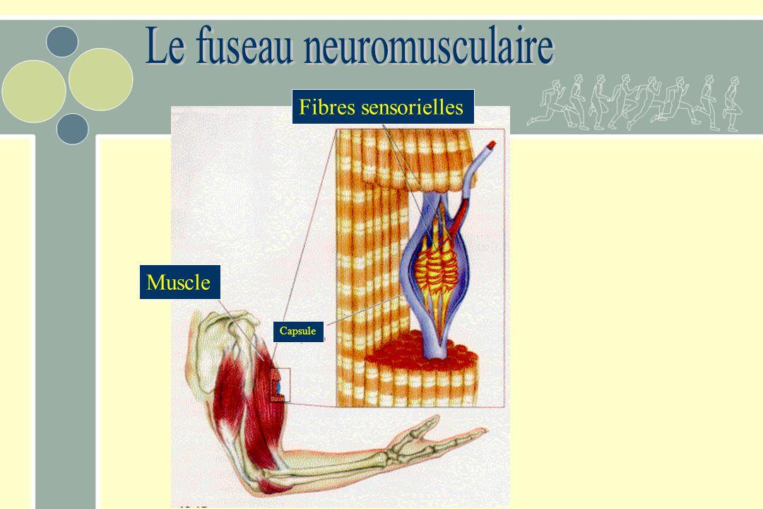 Muscle Fibres sensorielles Capsule