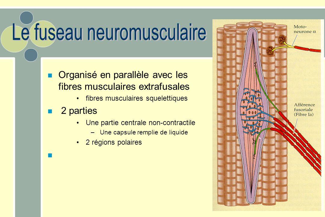 n Organisé en parallèle avec les fibres musculaires extrafusales fibres musculaires squelettiques n 2 parties Une partie centrale non-contractile – Un