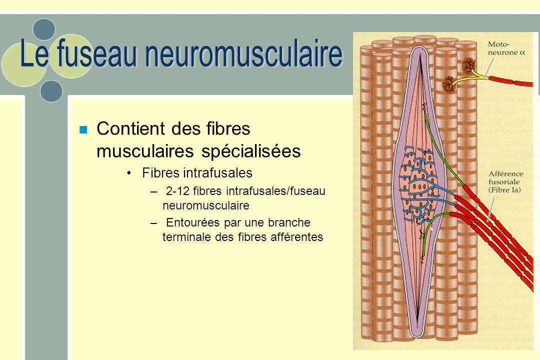 n Contient des fibres musculaires spécialisées Fibres intrafusales – 2-12 fibres intrafusales/fuseau neuromusculaire – Entourées par une branche termi