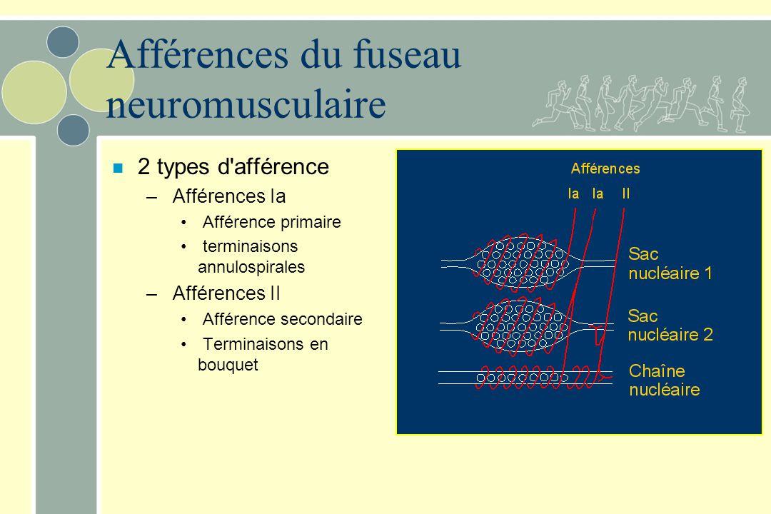 Afférences du fuseau neuromusculaire n 2 types d'afférence – Afférences Ia Afférence primaire terminaisons annulospirales – Afférences II Afférence se