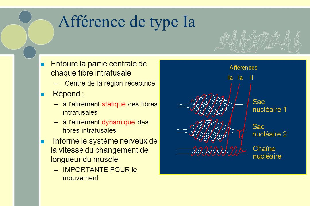 Afférence de type Ia n Entoure la partie centrale de chaque fibre intrafusale – Centre de la région réceptrice n Répond : –à l'étirement statique des