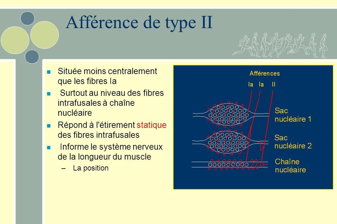 Afférence de type II n Située moins centralement que les fibres Ia n Surtout au niveau des fibres intrafusales à chaîne nucléaire n Répond à l'étireme
