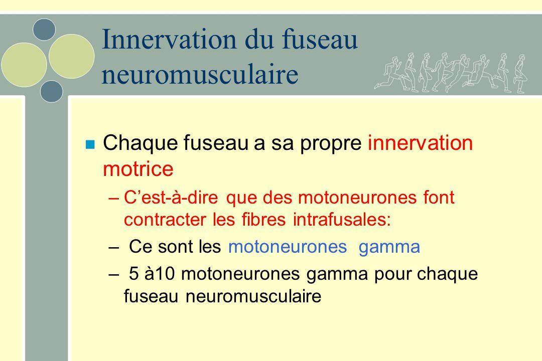 Innervation du fuseau neuromusculaire n Chaque fuseau a sa propre innervation motrice –Cest-à-dire que des motoneurones font contracter les fibres int