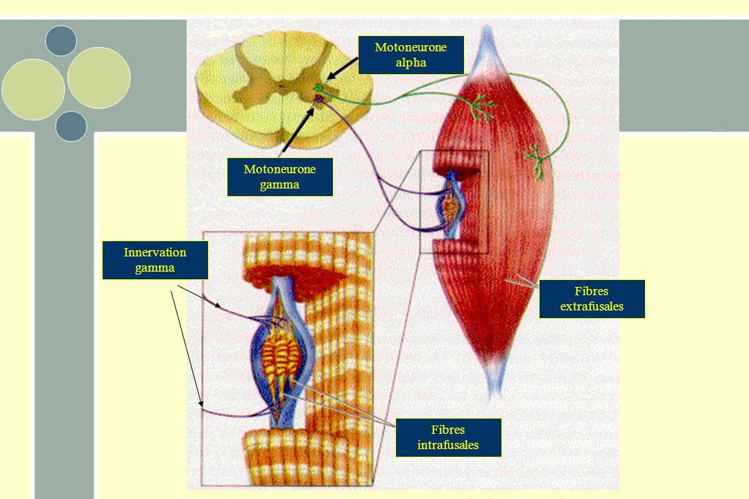 Motoneurone alpha Motoneurone gamma Innervation gamma Fibres extrafusales Fibres intrafusales