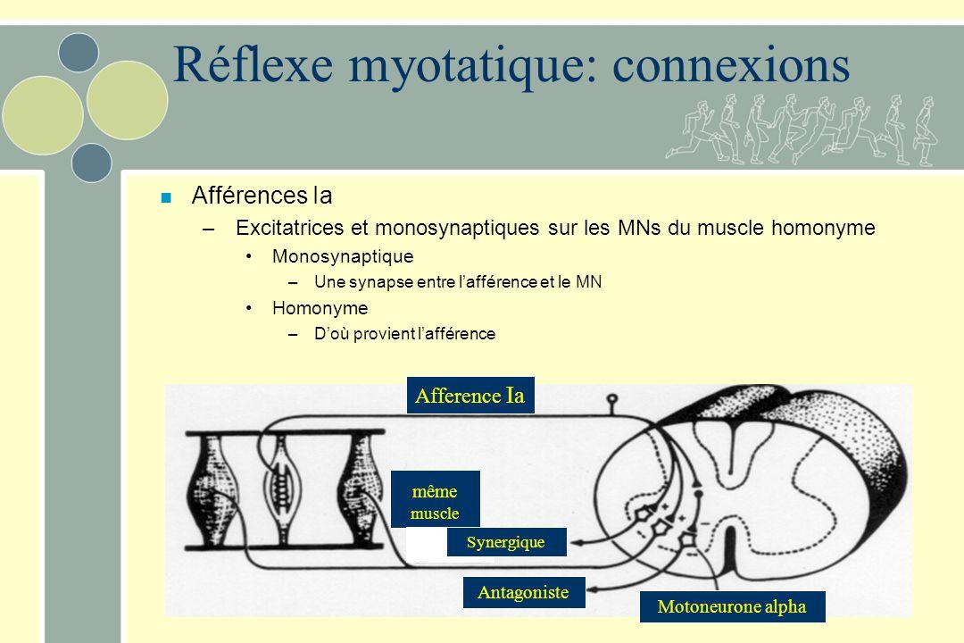 Réflexe myotatique: connexions n Afférences Ia – Excitatrices et monosynaptiques sur les MNs du muscle homonyme Monosynaptique – Une synapse entre laf