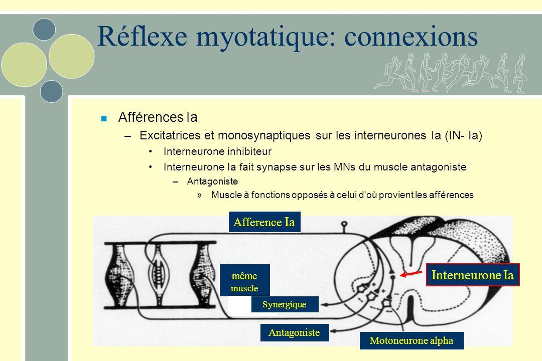 n Afférences Ia –Excitatrices et monosynaptiques sur les interneurones Ia (IN- Ia) Interneurone inhibiteur Interneurone Ia fait synapse sur les MNs du